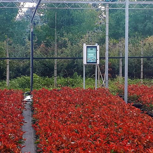 Monitoraggio coltivazione di Photinia Red Robin vaso 9